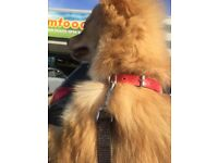 9 month old male Pomeranian