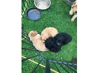 American spaniel cross cover poo puppies