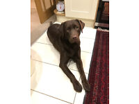 Chocolate Labrador - just turned 1 year old.