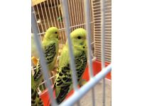 Beautiful Best Quality Baby Budgies