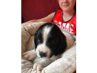 Springer Spaniel Puppy, Last one Left!!!