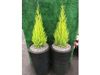 Large plant pot with conifer tree