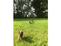 BELGIAN SHEPHERD MALINOIS PUPPIES