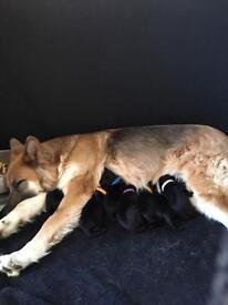 German shepherd cross Labrador pups