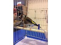 Beautiful 18 month female Goldfinch FOR SALE