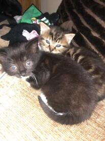 Tabby and black kittens