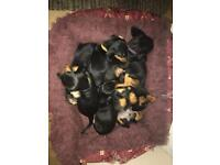 Standard dachshund puppies for sale