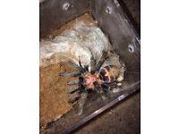 C fasciatum tarantula