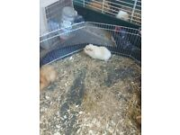 Male guinea-pig