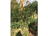 European holly tree