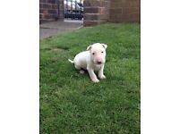 1 male English bull terrier puppy