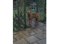 Lovely male dog cross pressa with rotwiller