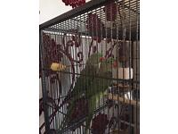 Alexandrine parrots pair