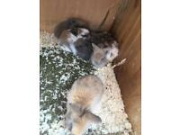 Very beautiful mini lops £30 each