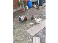 Chickens for sale all egg laying