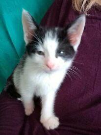 Adorable little kitten 9weeks old