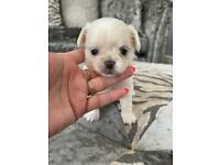 KC Beautiful Cream and White long coat boy with Champion and Russian lines