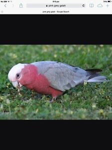 Pink Grey Galah - Stirling Stirling Stirling Area Preview