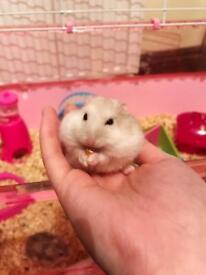 Baby Russian dwarf hamster