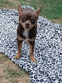 Kc Registered chihuahua chocolate tan