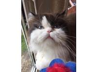 Exotic Himalayan Persian male cat