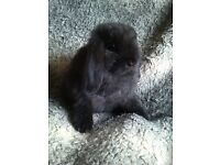 Mini Lops Available