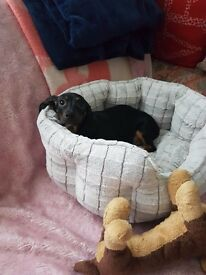 Miniture dachshund baby