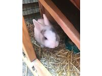 Netherland dwarf male rabbit with hutch