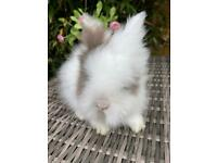 Absolutely stunning purebred lion bunnies