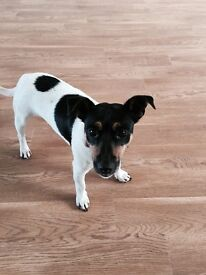 Jack Russel one year old Mario