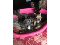 French Bull Dog Pups for sale. Price - £1190... Gorgeous little puppies need a good loving home.