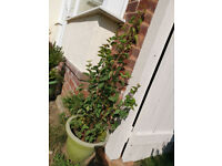 APRICOT FRUIT TREE in pot for sale