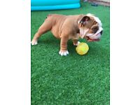 English Bulldog Puppy. 11 weeks Old. KC Reg. Pedigree.