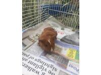Baby guinea pig eight weeks old