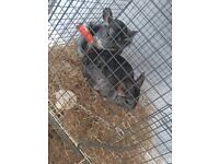 2 female chinchillas with cage and accessories