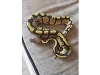 Male Lemon Pastel Firefly
