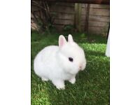 White/blue eye Netherland Dwarf Rabbits
