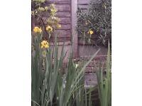 beautiful yellow flag pond iris