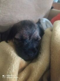 1 border terrier puppy bitch 9 weeks