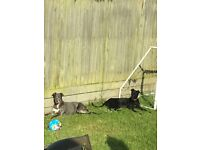 lurcher sisters for rehoming