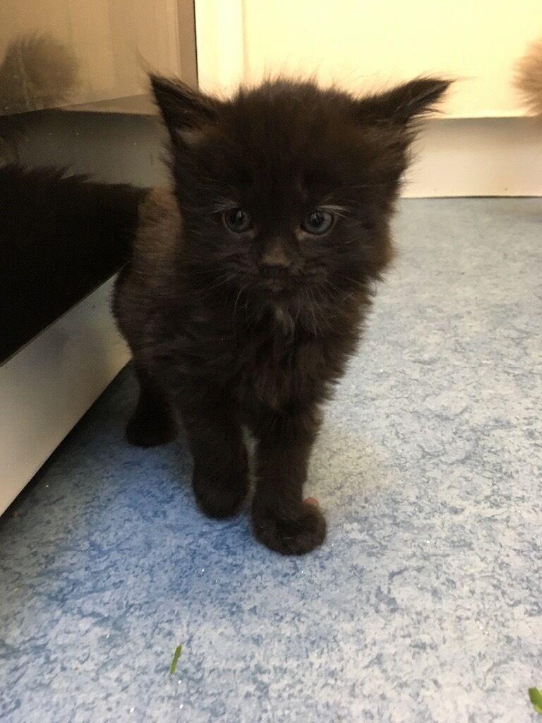 Black Fluffy Kittens For Sale 😻😻 In Billingshurst West