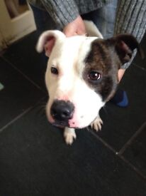 Male Staffy 2 years old, fussy but good as gold loves attention.