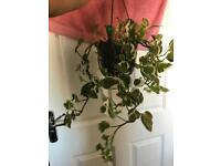 Long trailing pothos house plant
