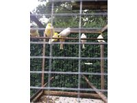 Mix canary for sale, 4*fife £10 each, 1*male champion £20 and pair of Yorkshire canary £80