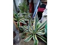 Agarve desert plants