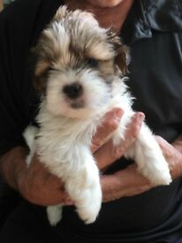 Lhasa Apso Male Pup for sale