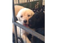 Standard F1 labradoodle puppies *6 available*