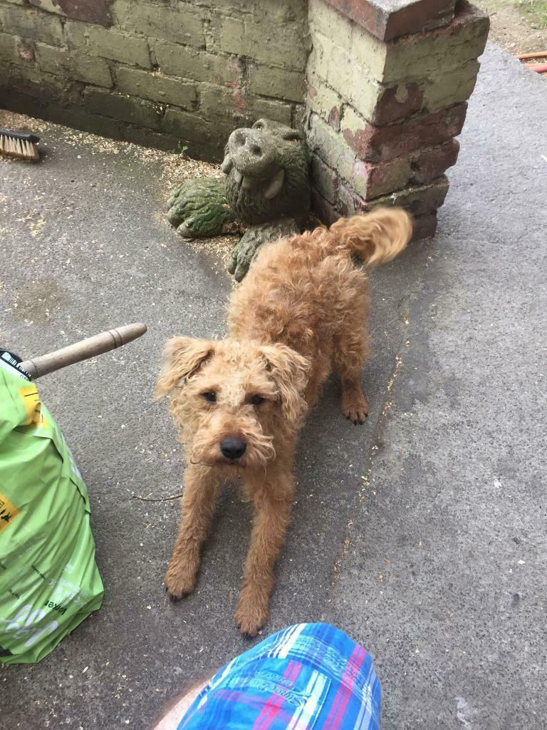 Lakeland terrier bitch | in Hawick, Scottish Borders | Gumtree
