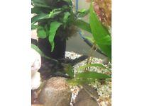 Plec catfish