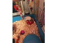 Dwarf hamster x 2